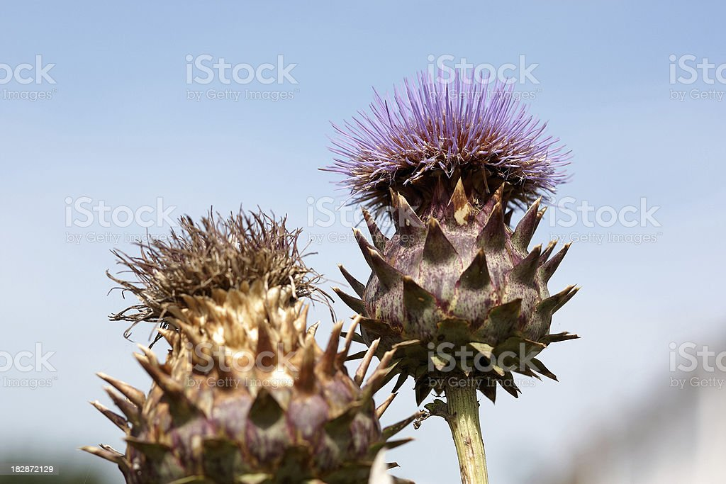 Thistle in bloom against blue sky royalty-free stock photo