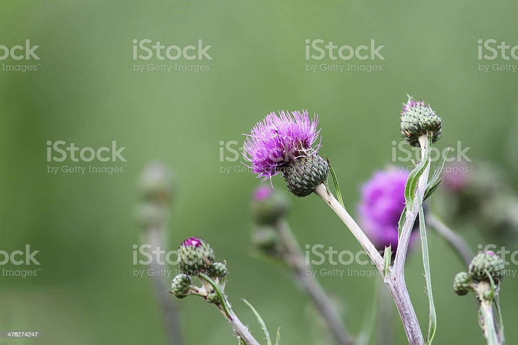 thistle in bloom royalty-free stock photo