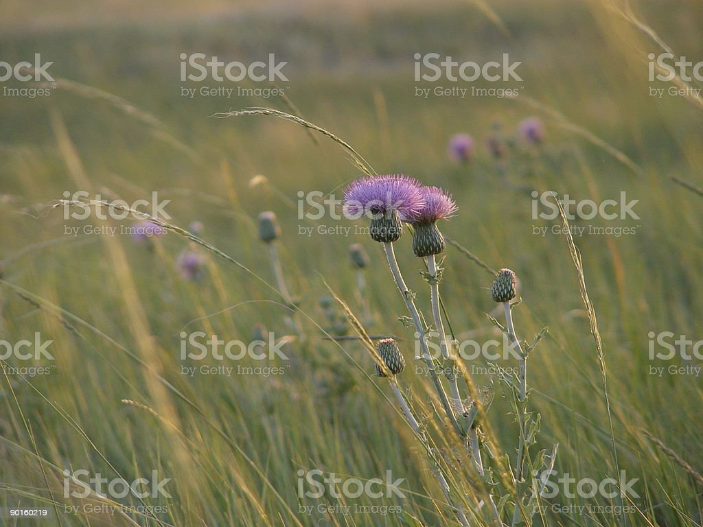 Thistle in field stock photo