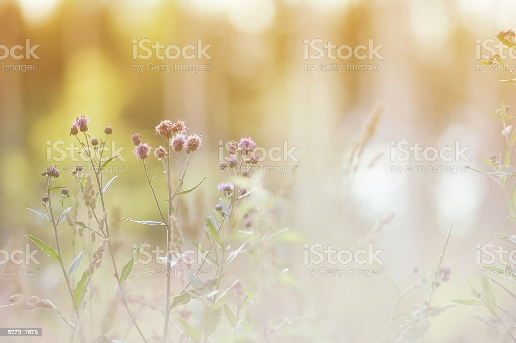 Thistle in the meadow stock photo