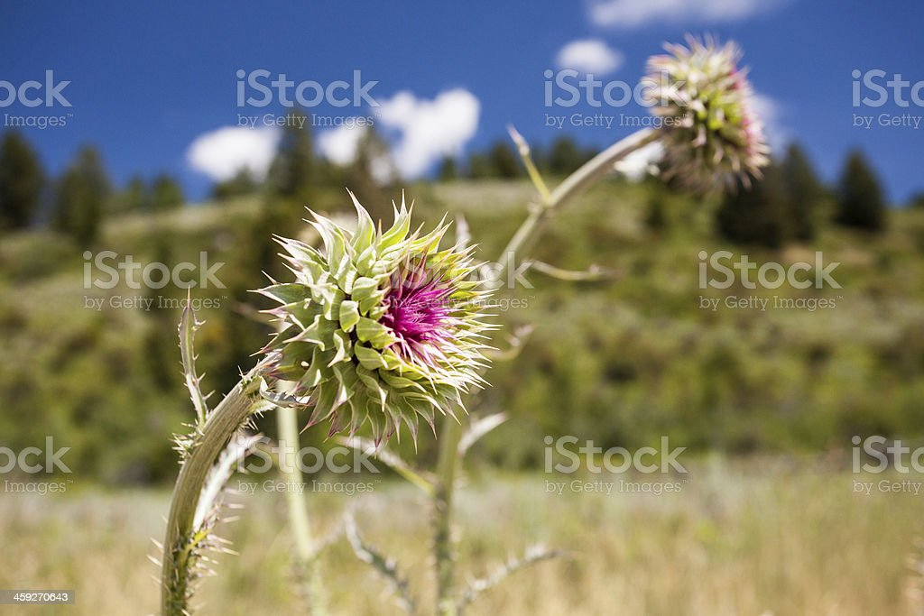 Thistle in the Mountains royalty-free stock photo