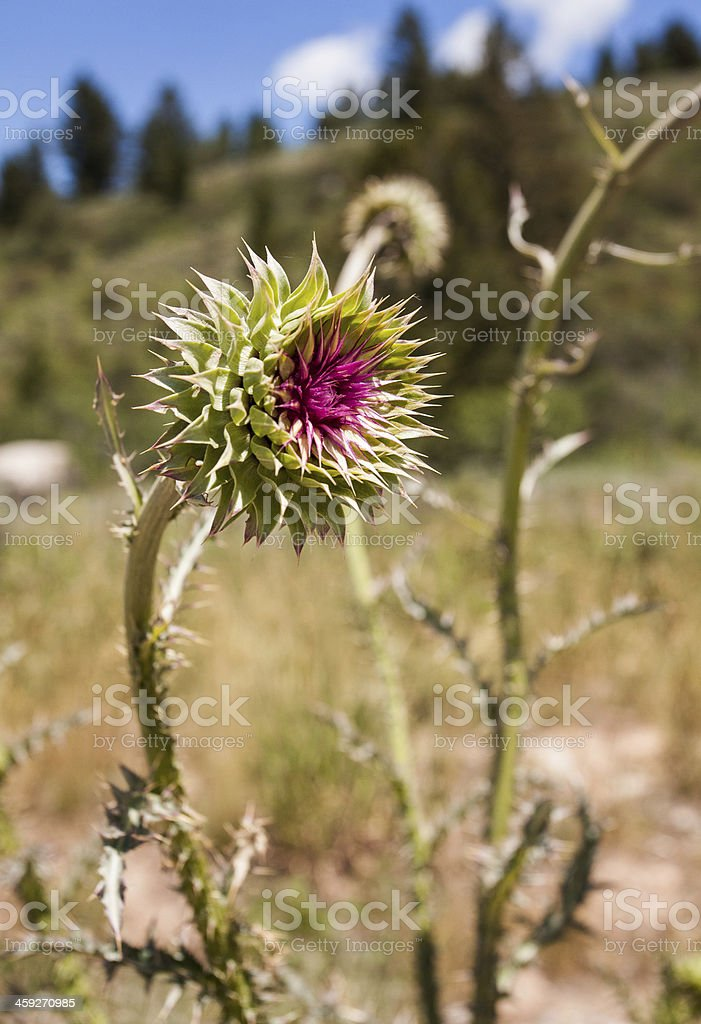 Thistle in the Mountains stock photo