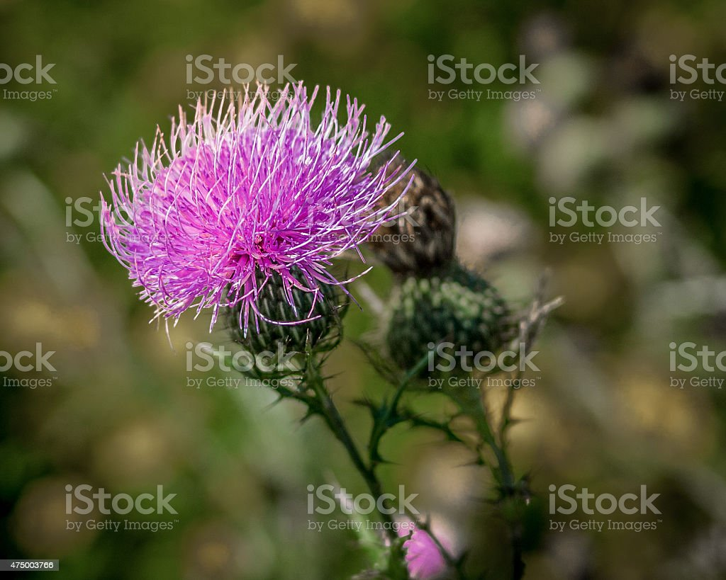 Thistle in the Wind stock photo