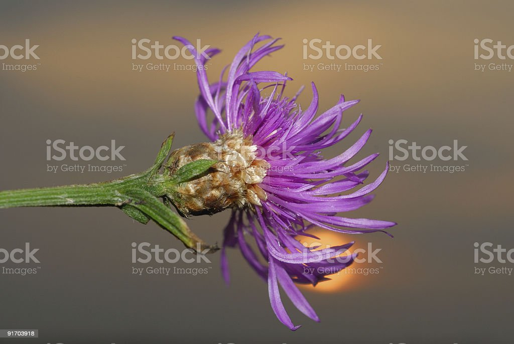 Thistle - Land Feature royalty-free stock photo