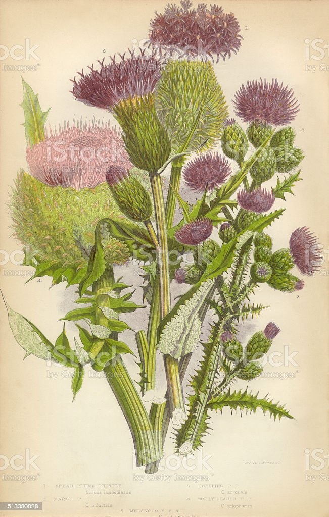 Thistle, Milk Thistle, Musk Thistle, Scotland, Victorian Botanical Illustration stock photo