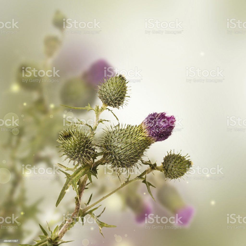 Thistle on a white background royalty-free stock photo