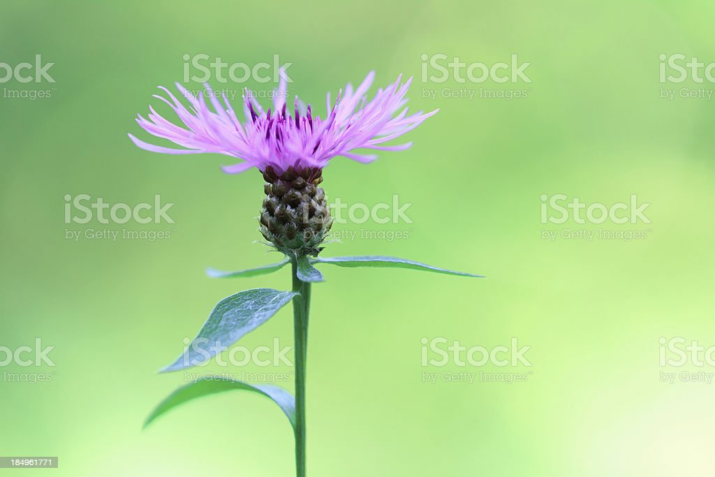 Thistle royalty-free stock photo