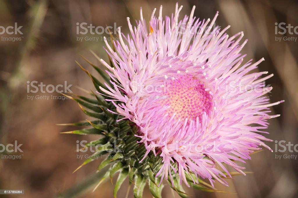 Thistle Plant Flower Cirsium neomexicanum stock photo