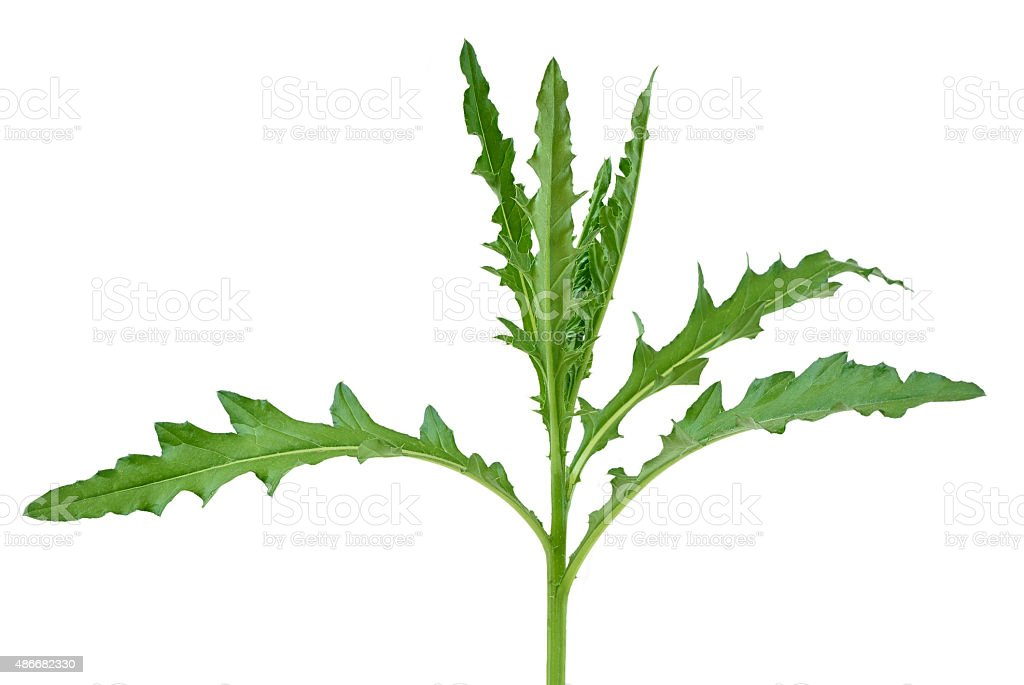 Thistle plant stock photo