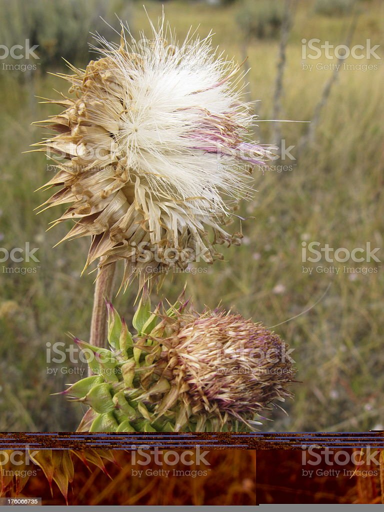 Thistle Scottish Seed Head Cotton stock photo