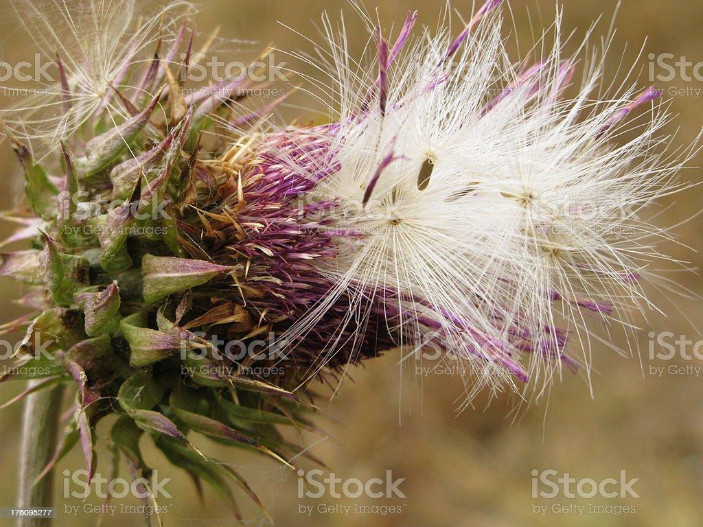 Thistle Seed Head Scottish Cotton stock photo