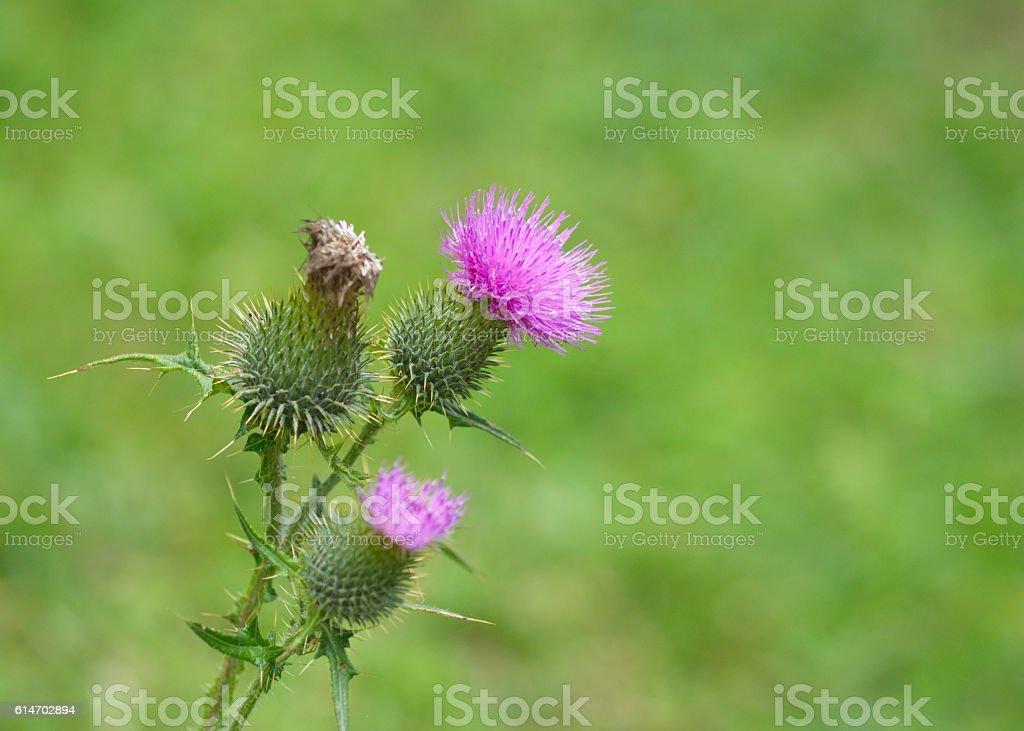 thistle silybum marianum wild flower stock photo