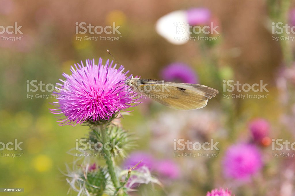 thistle with butterfly stock photo