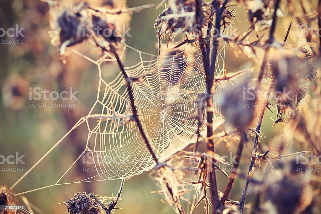Thistle with cobweb stock photo
