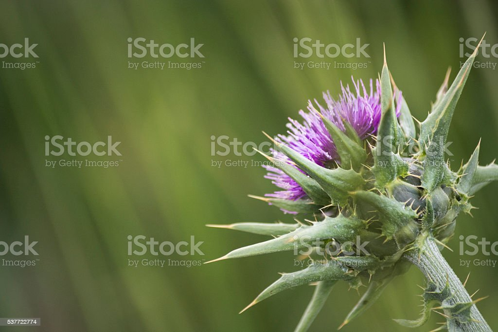Thistle with Copy Space stock photo