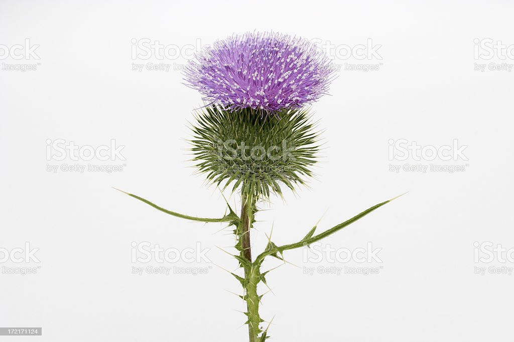 Thistle-01 royalty-free stock photo