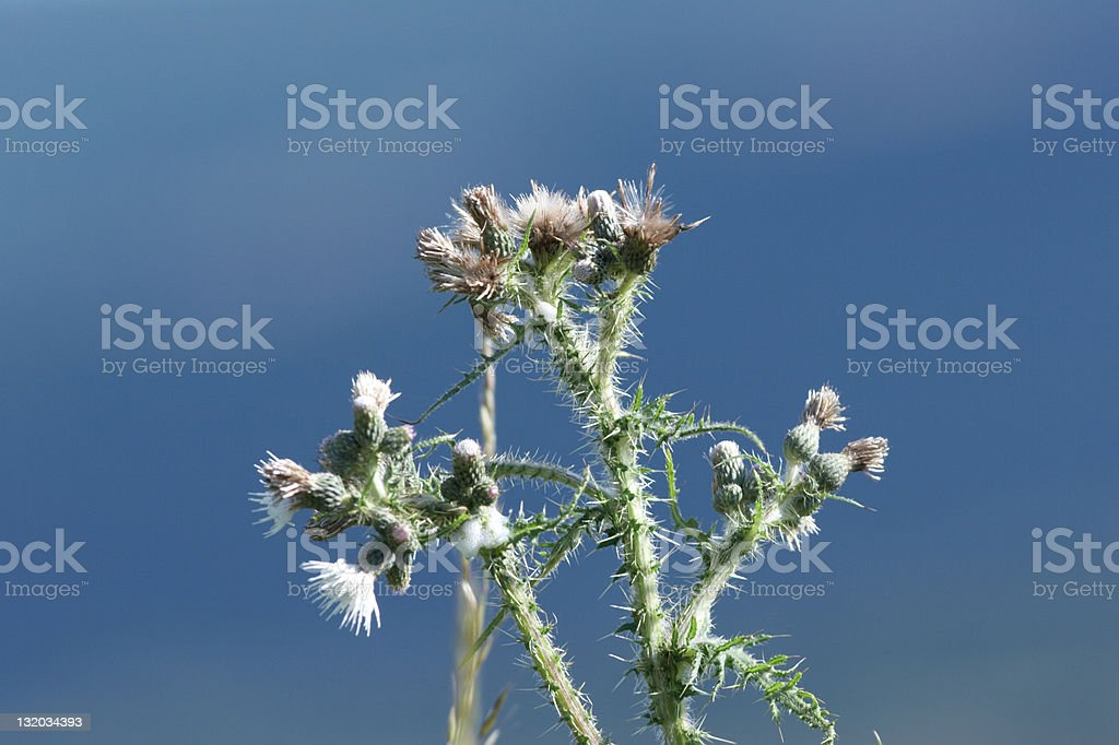Thistles against blue sky royalty-free stock photo