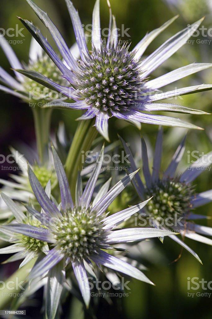 Thistles - Eryngium stock photo