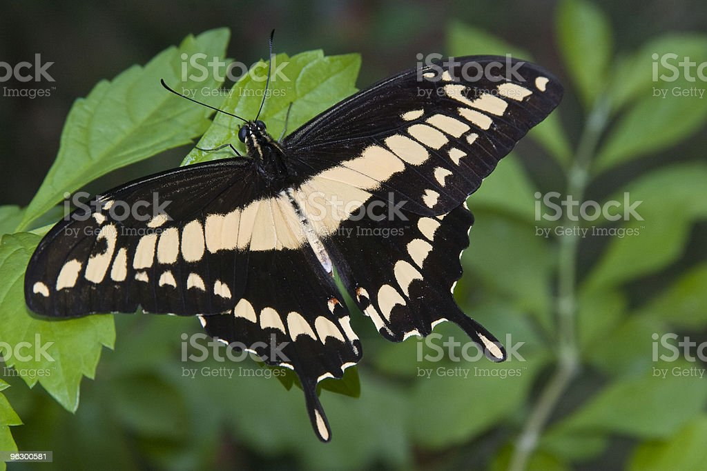 Thoas Swallowtail Butterfly, Delicate, Insect, Metamorphosis, Nature, Shallow Depth-of-Field stock photo