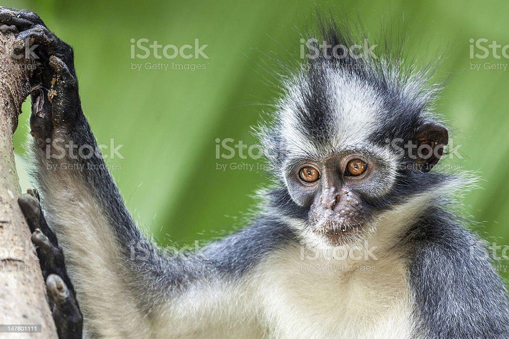 Thomas's leaf monkey royalty-free stock photo