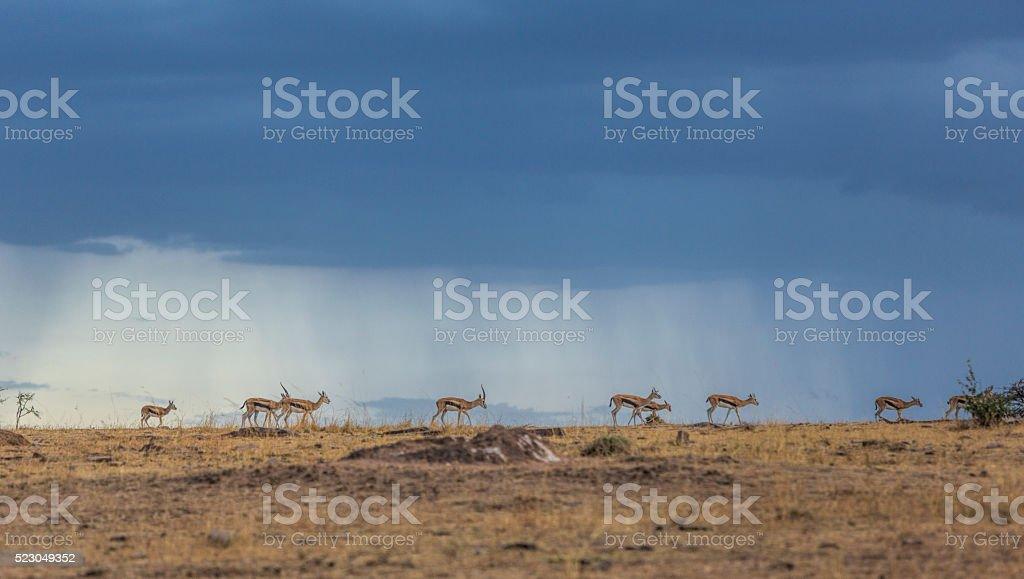 Thompson gazelle against dark sky on African savannah, Masai Mara. stock photo