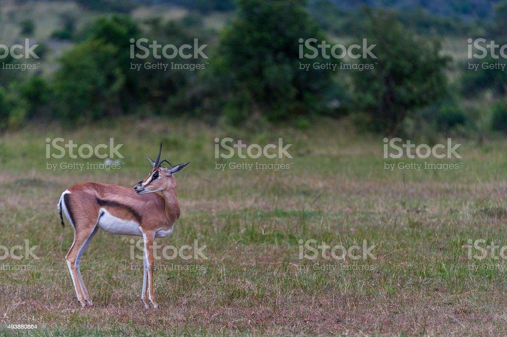 Thomson Gazelle stock photo