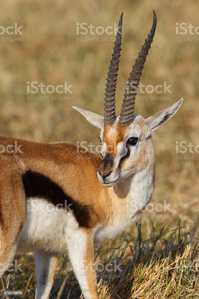Thomson's Gazelle at Ngorongoro Crater, Tanzania Africa stock photo