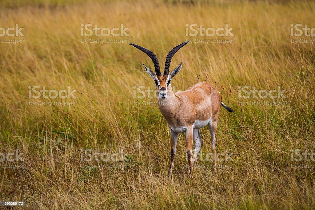 Thomson's gazelle in the Nairobi National Park. stock photo