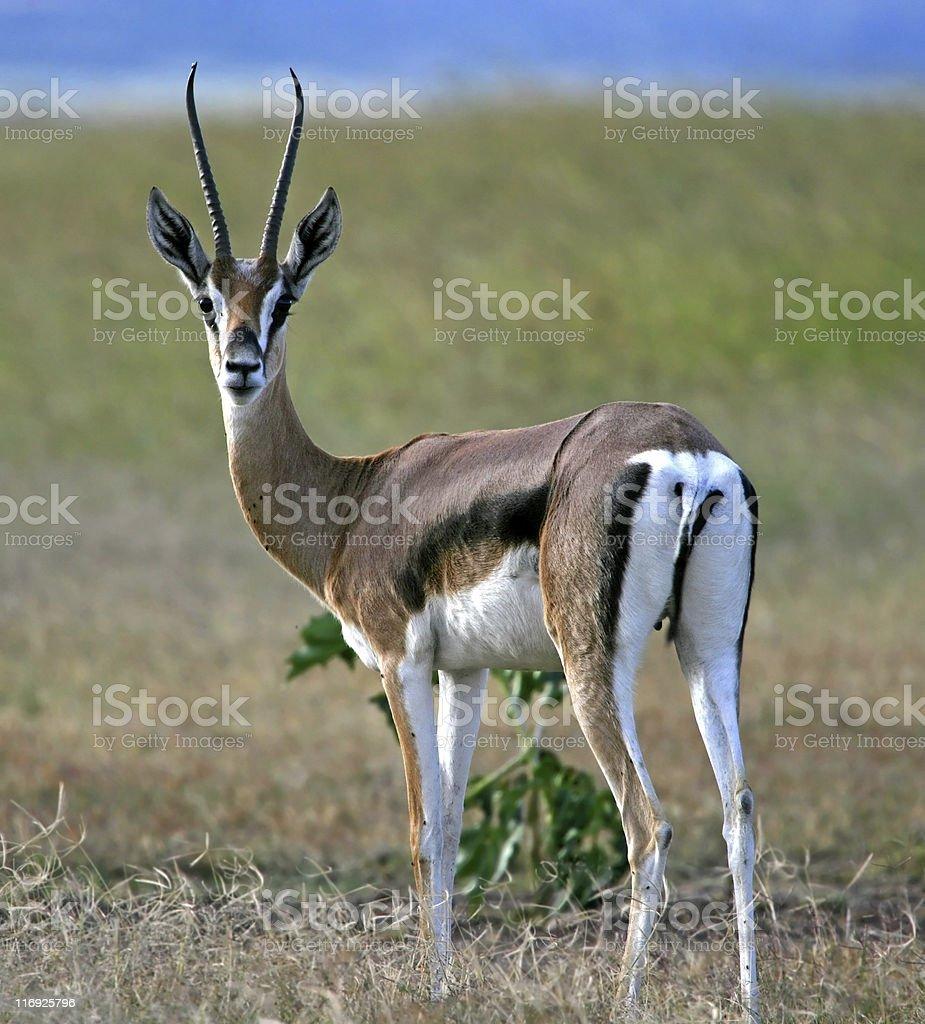 Thomson's Gazelle stock photo