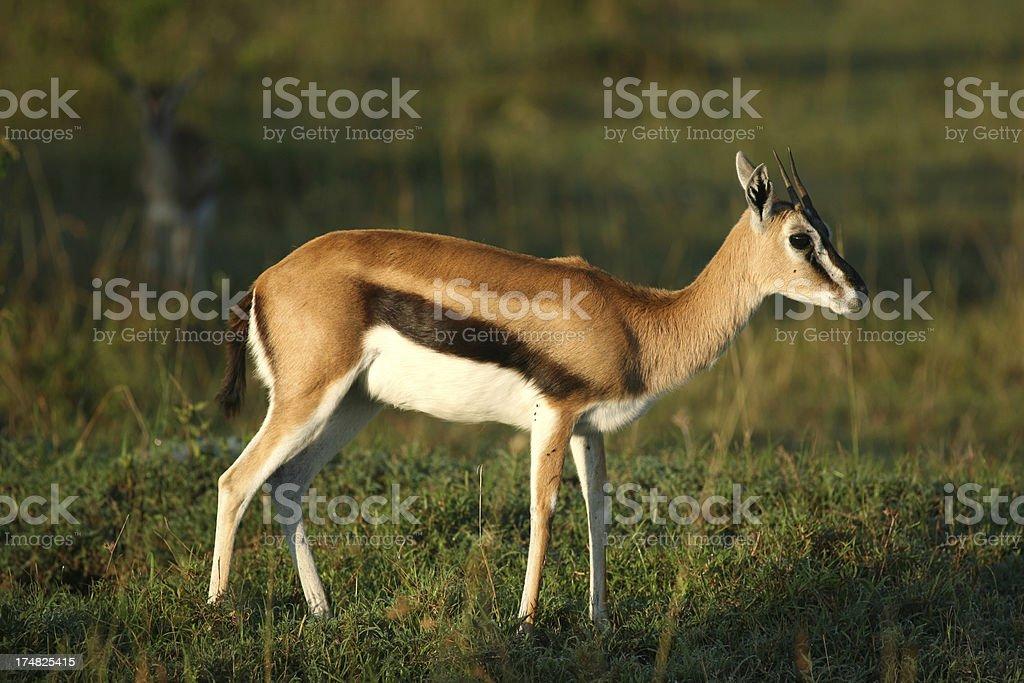 Thomson's gazelle royalty-free stock photo