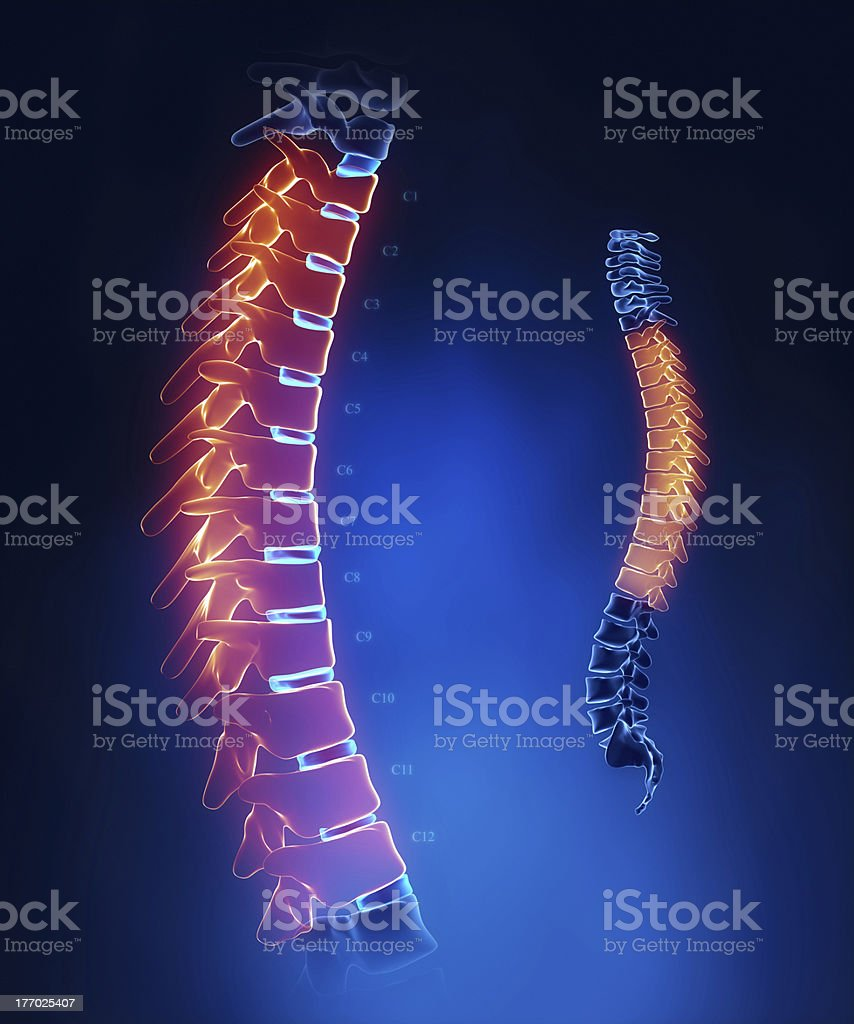 Thoracic spine anatomy in blue detail stock photo