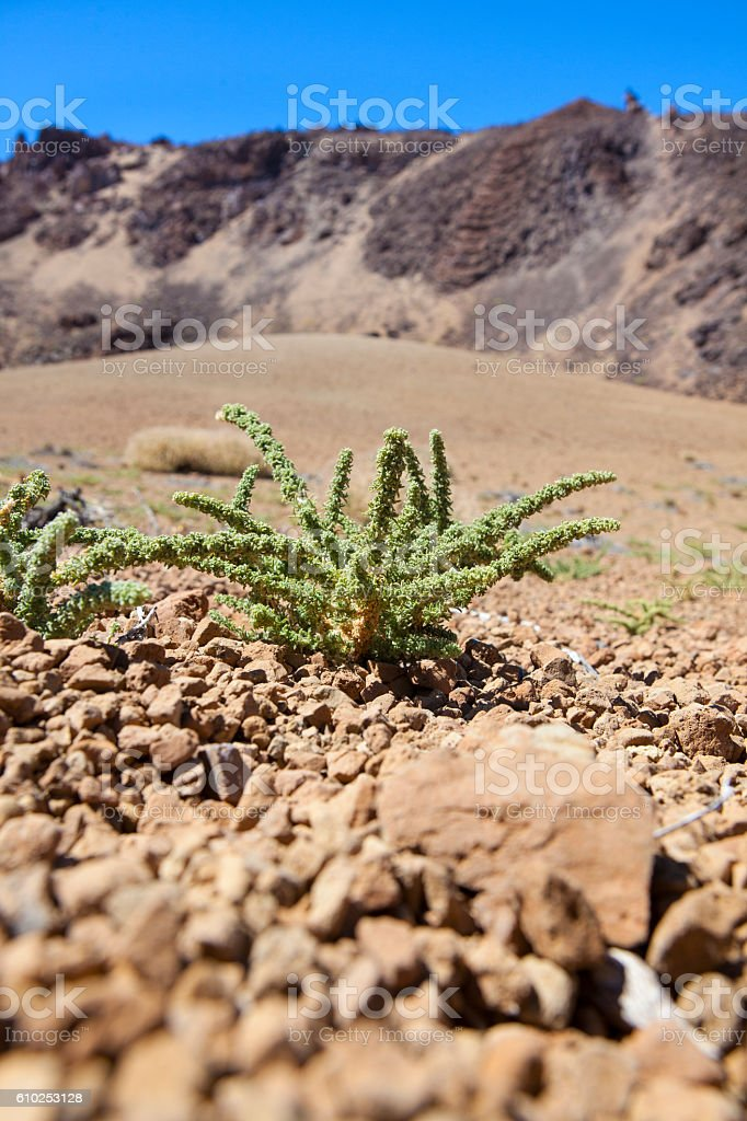 Thorn bush in Teide Natural park stock photo