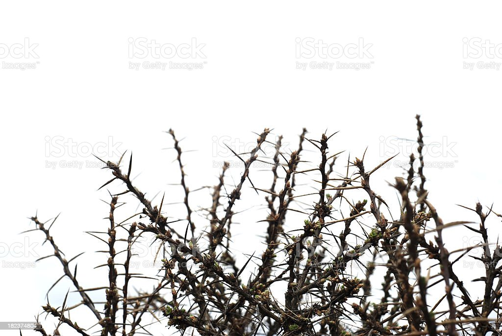 Thorn Bush, monotone royalty-free stock photo