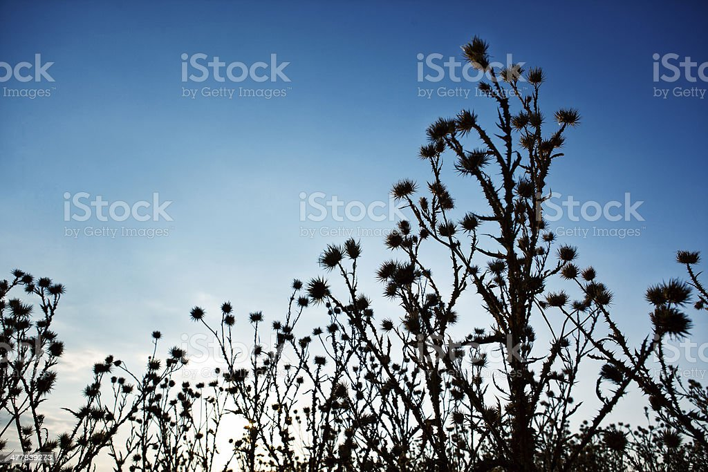 Thorn Bush Silhouette royalty-free stock photo