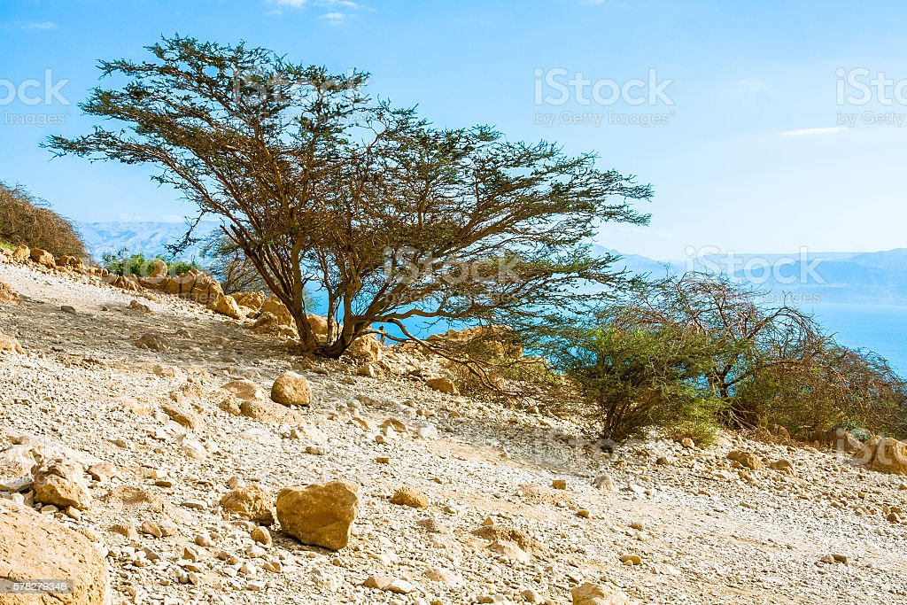 Thorn Bushes in Negev Desert stock photo