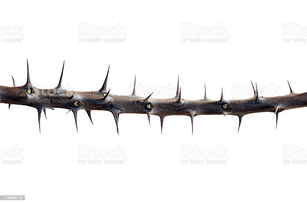 Thorn stock photo