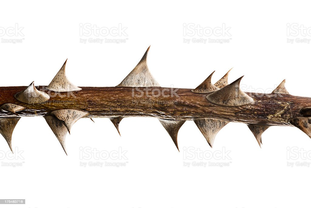 Thorn Twig stock photo