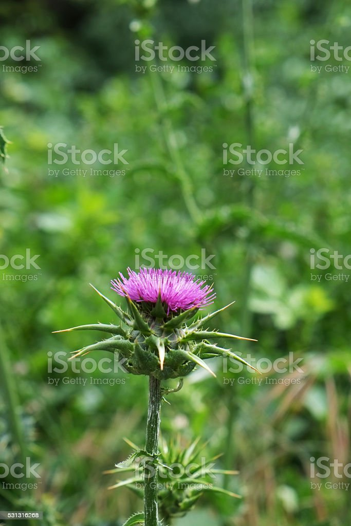 Thorn Weed Pink Flower stock photo