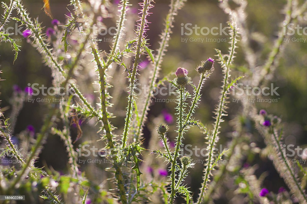 Thorn weed plant royalty-free stock photo