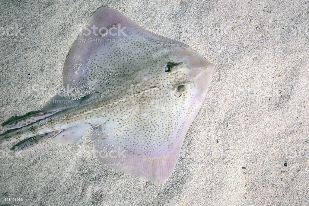 Thornback ray lying on the seabed stock photo