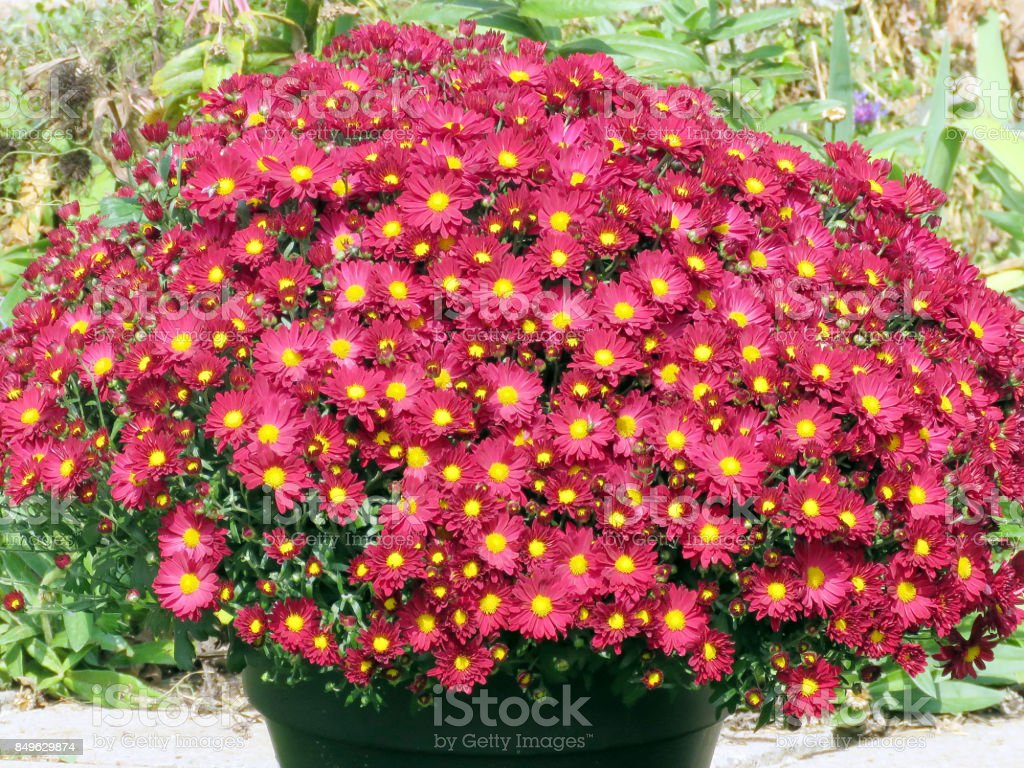 Thornhill red daisies 2017 stock photo