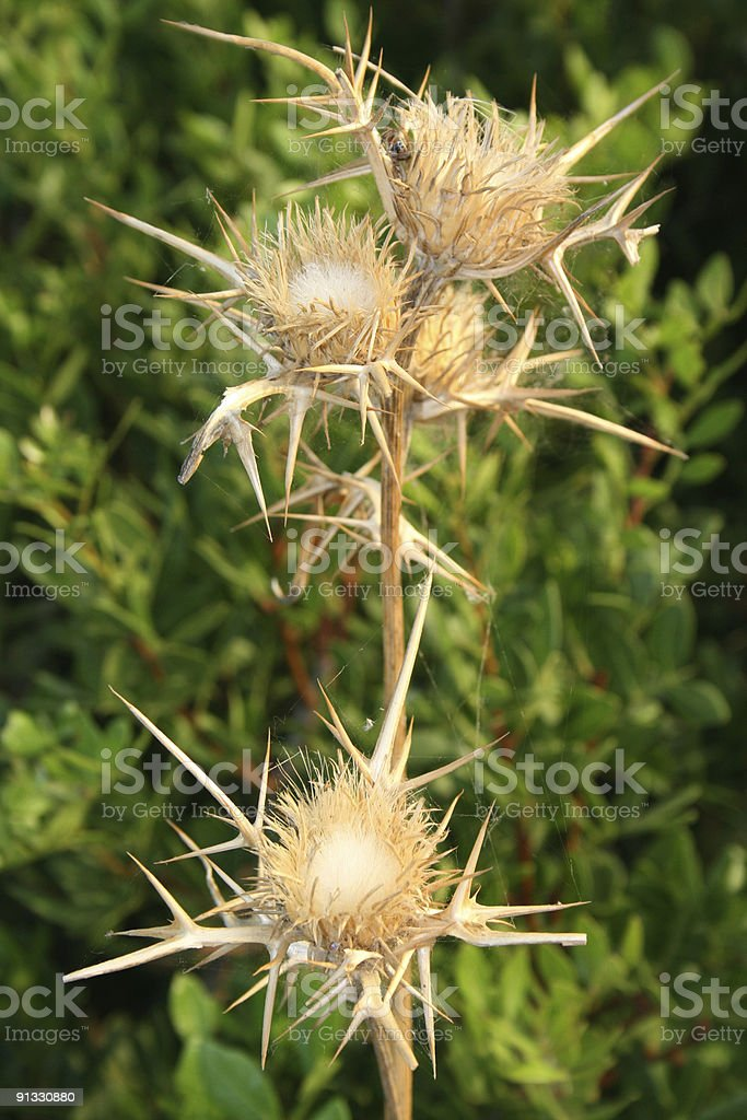 thorn,prickle royalty-free stock photo