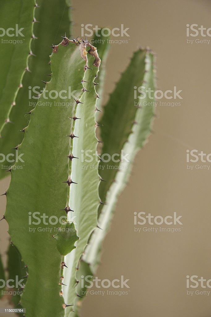 Thorns on an indoor cactus stock photo