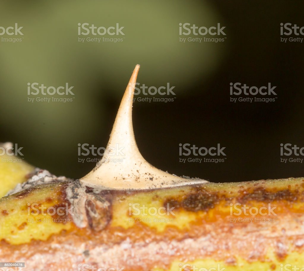 thorns on the plants. close-up stock photo