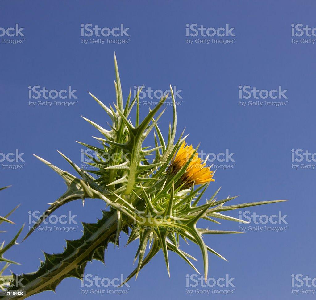 Épines avec fleurs jaunes agains le ciel bleu stock photo libre de