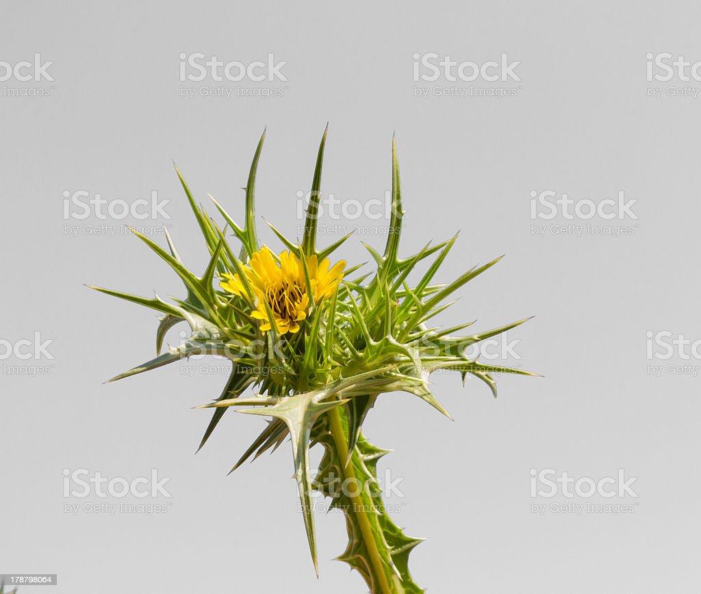 Épines avec fleurs jaunes islated sur blanc stock photo libre de