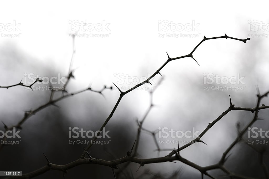 Thorny branches from Horse-apple tree (Maclura pomifera). royalty-free stock photo