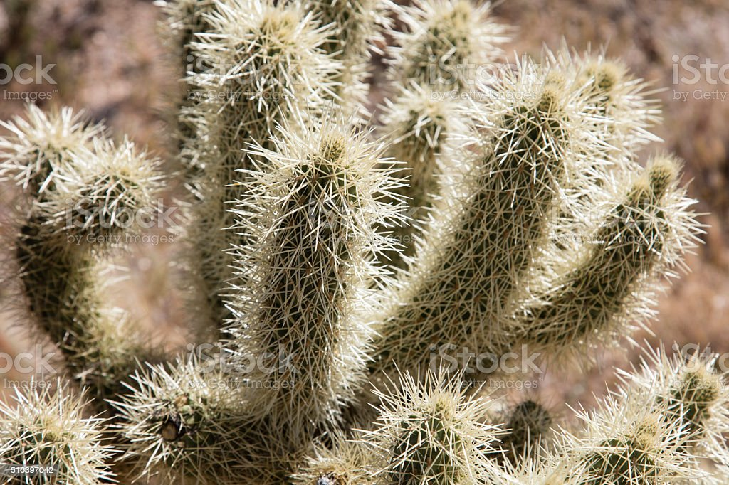 Thorny Cholla cactus stock photo