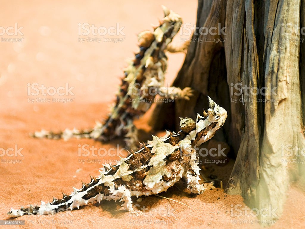 Thorny Devil Lizards royalty-free stock photo