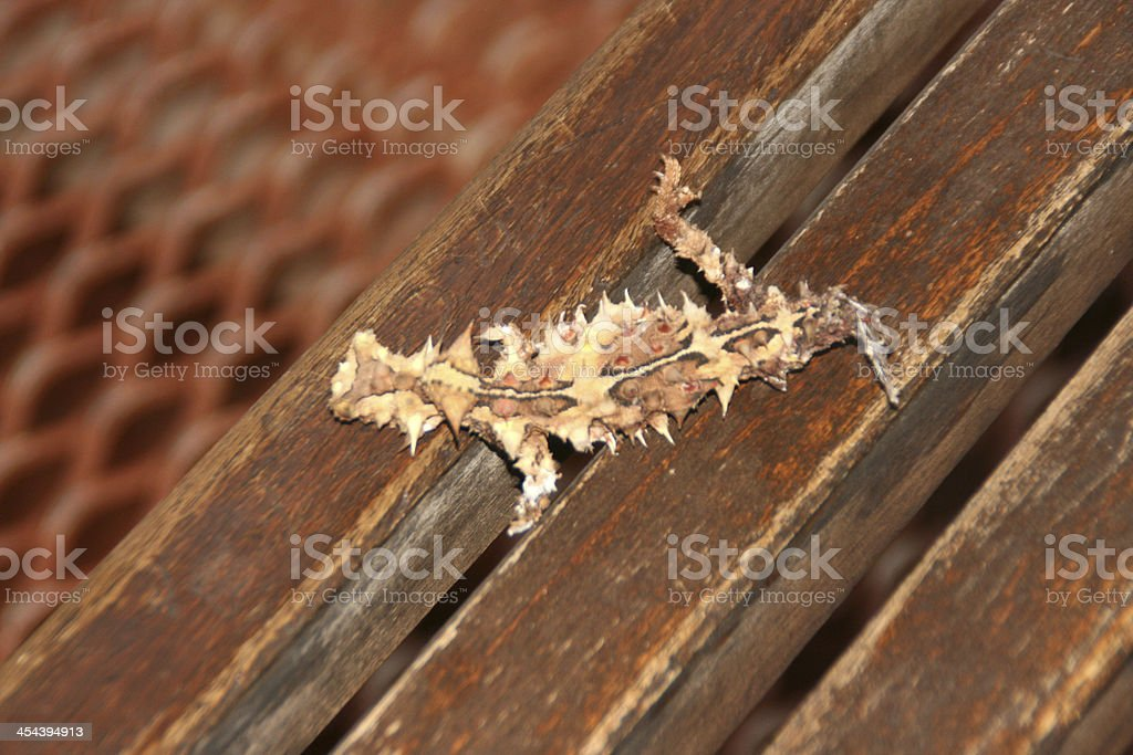 Thorny Devil on a bench, nothern territory, australia royalty-free stock photo